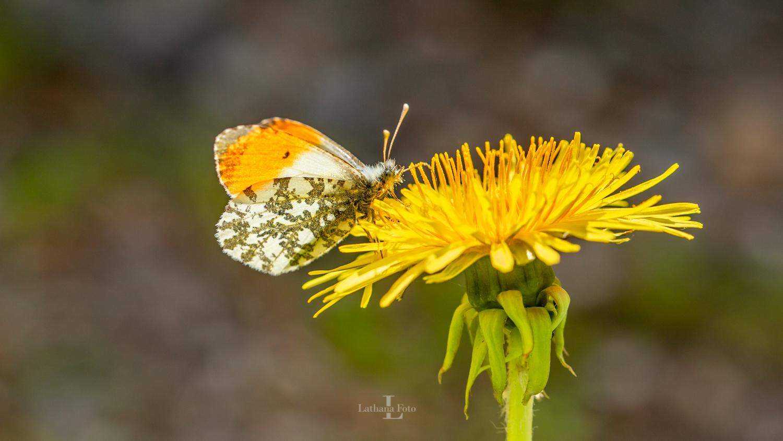 110519 Aurora sommerfugl