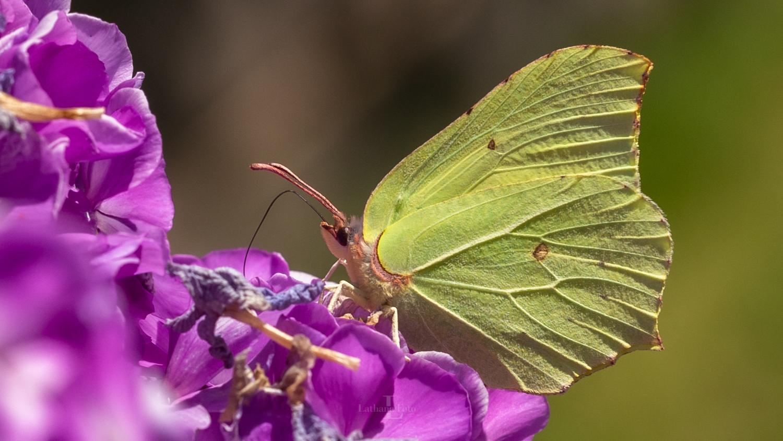 170719 En smuk citronsommerfugl i haven