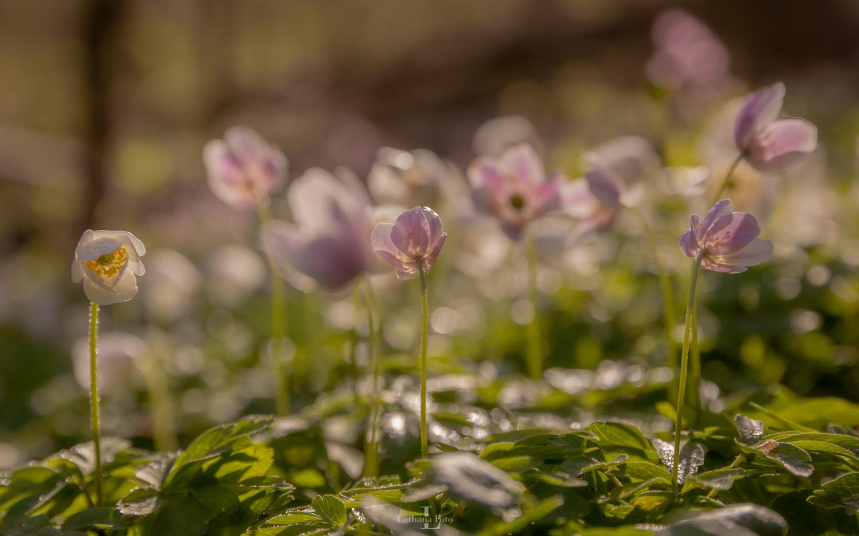 anemone i morgendug 230421 1