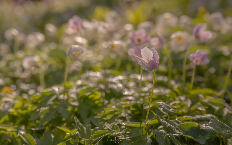 anemone i morgendug 230421 2-2
