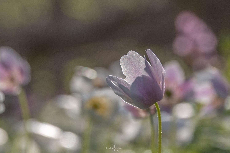 anemone i morgendug 230421 3
